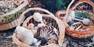 Randonnée Collecte de champignons avec DAR EL AIN Ecotourisme et loisirs - Tourisme alternatif